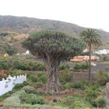 Драконово дерево на Тенерифе