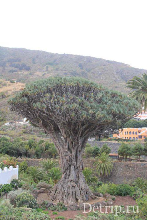 фото драконово дерево