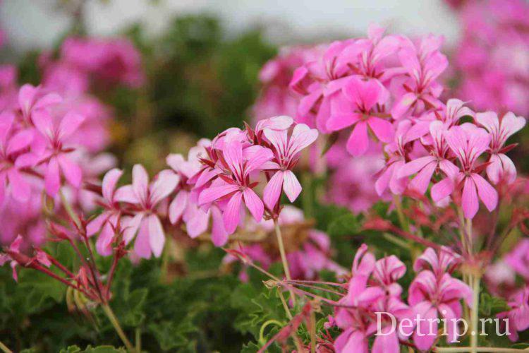 цветы на тенерифе
