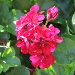 растения ла гомера
